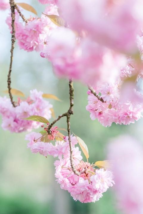 rosa Kirschblüten in Dortmund